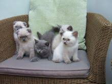 seal point rare color exclusive scottish fold kittens txt only via 901 x