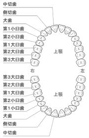 歯 の 本数