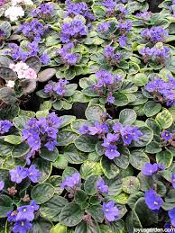 african violets are por blooming houseplants here are a few care tips along with an app you might find useful