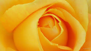Yellow Rose Backgrounds [2560x1440 ...