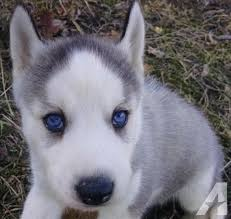 grey husky puppies with blue eyes. Plain Grey Blue Heeler Mix Puppies Pets And Animals For Sale In Peebles Ohio  Puppy  Kitten Classifieds Page 2 Buy Sell Kittens Puppies Americanlisted  On Grey Husky Puppies With Blue Eyes E