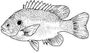 Small Picture Bluegill Fish Coloring Pages Coloring Coloring Pages