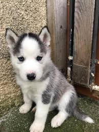 husky puppies for sale. Delighful For Siberian Husky Puppies For Sale For Husky Puppies Sale U