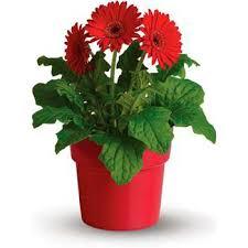 gerbera plant plants