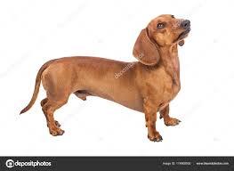 Dachshund Dog Isolated White Background ...