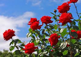 rose flower plant image