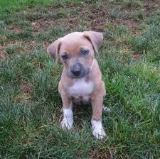 white pitbull terrier puppies.  Terrier Tan And White American Pit Bull Terrier Mix Puppy Inside Pitbull Puppies T