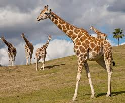 pictures of a giraffe. Exellent Pictures A Giraffe Walks On A Grassy Hill In Front Of Four Other Herd Members The Intended Pictures Of Giraffe