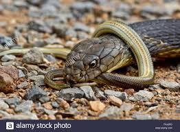 king cobra snake eating. Wonderful Snake King Cobra Eats Smaller Snake  Stock Image On Snake Eating