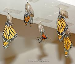 Image result for butterflies in chrysalis