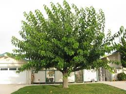 fruitless Mulberry Tree Images - Cerca Con Google | Belvedere ...