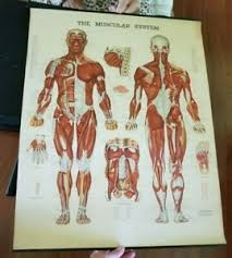 Details About The Muscular System Anatomical Chart Co Original 1960s Bachin Chart