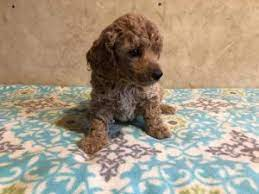 nc miniature poodle puppies red