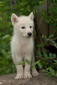 newborn white wolf pup.  Pup Lily Bice Resider Of Falling Snow Broken Howl Series The Wolves  White  Wolf Pup Intended Newborn White Wolf Pup P
