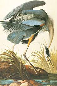 great blue heron audubon canvas or wall art print on heron canvas wall art with amazon great blue heron audubon canvas or wall art print
