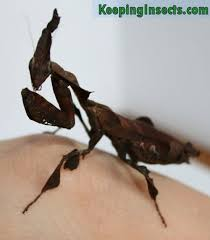 Determining The Sex Of Your Praying Mantis Keeping Insects