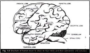 essay on human brain structure and function structure of human brain to show its four lobesand their sensations and activities