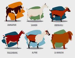 10 Best Dairy Goat Breeds Goataid
