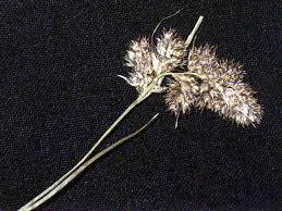 Luzula spicata - Wikipedia