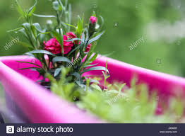 A beautiful spring day, the flowers bloom, pink flowers, pink flower pots,  nice smell, exudes beauty