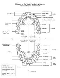 Tooth Chart 1 32 Understanding Teeth Each Tooth Has A Job To Do