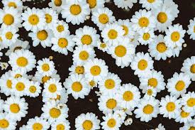 an overhead shot of a bed of chamomile flowers wallpaper cool wallpapers flower