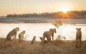 lion pride the social organization of