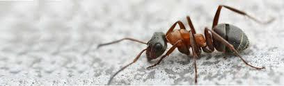 Résultats de recherche d'images pour «photo fourmis charpentiere»
