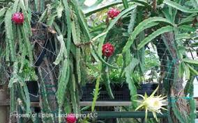 Dragon Fruit On Tree