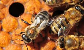 Varroa Mites Bees Archenemies Have Genetic Holes In Their Armor