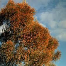 Image result for casuarina tree in flower