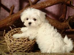 Puppy Wallpaper For Bedroom Maltese Puppy Hd Wallpaper For Desktop Background Wallalliescom