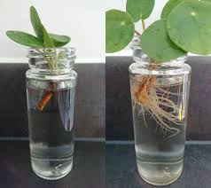 pilea peperomioides chinese money