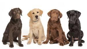 labrador retriever. Wonderful Retriever Labrador Retriever Dog Breed Pictures In A