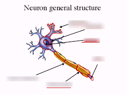 Neuron General Structure Diagram Quizlet