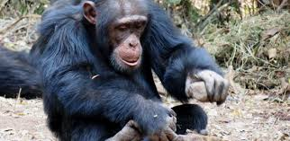 opportunity and not necessity is the mother of invention when food is scarce tool use among non human primates does not increase this counterintuitive finding leads researchers to suggest that the driving force