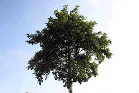 Image result for kratom tree