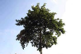 Image result for kratom tree
