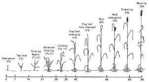 Wheat Growth Chart Spring Wheat Growth And Development Guide