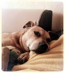 Brief An Meinen Hund Pitbull Staff Und Co