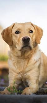 Labrador Dog Hd Wallpapers - 1125x2436 ...
