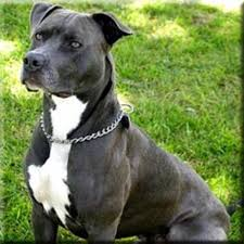 Wins at royal adelaide show, staffordshire bull terrier show. 10 Dog Breeds Most Commonly Mistaken For Pit Bulls Pethelpful By Fellow Animal Lovers And Experts