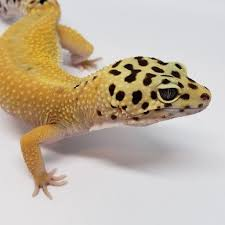 Featured Geckos Unlimited Amino