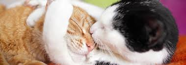 hyperthyroidism in cats cat diseases