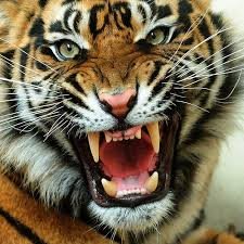 tiger face wallpaper hd. Exellent Wallpaper Angry Tiger Face Picture And Wallpaper Hd P