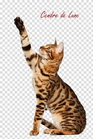 Cat Bengal Cat With Text Overlay Transparent Background Png