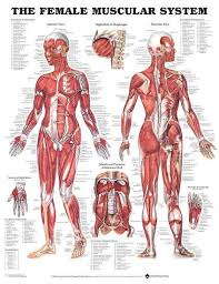 Anatomical Chart Posters The Female Muscular System Anatomical Chart Poster