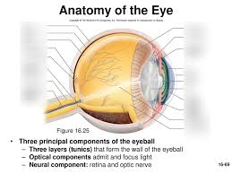Order In Which Light Passes Through The Eye Quizlet Visual Anatomy And Physiology Diagram Quizlet