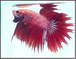 Betta Genetics Chart Types Of Bettas By Colour Tailss Patterns And Genetics