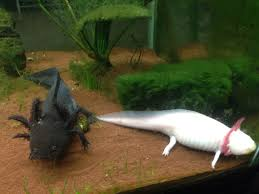 Small Picture TIL The Axolotl can be forced to transform into its adult